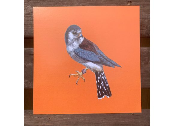 African Pygmy Falcon Print