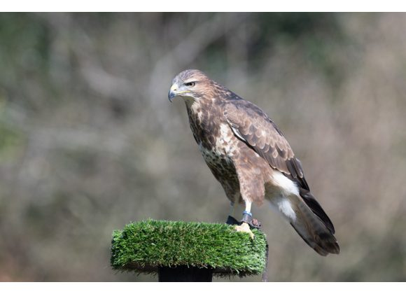 Darwin Common Buzzard